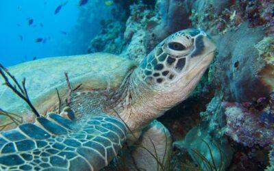 Turtle at Mabul Island, Sabah, Malaysia